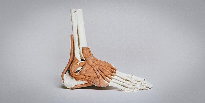 Das Skelett eines menschlichen Fußes